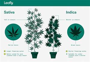 Indica Vs  Sativa  What U2019s The Difference Between Types Of
