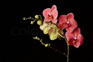 Dark red orchid on a black background | Stock Photo ...