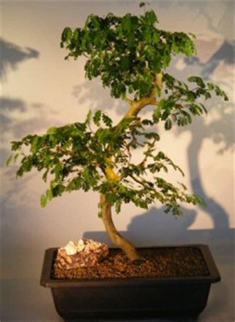 repotting christmas cactus growing zygocactus indoor