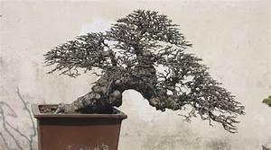 Pflege Bonsai Baum Indoor : bonsai chinesische ulme pflege ~ Michelbontemps.com Haus und Dekorationen