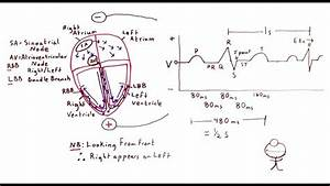 Cardiac Electrical Conduction And The Ecg