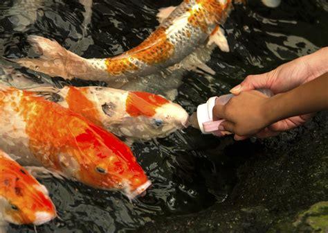 tropical fish food feeding  aquarium fish