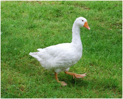 christmas goose artxy