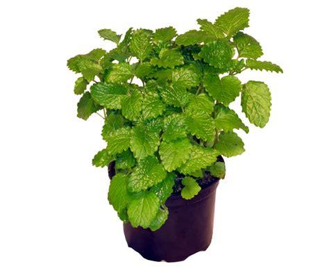 gemüse anbauen hochbeet zitronenmelisse lexikon f 252 r kr 228 uter und pflanzen