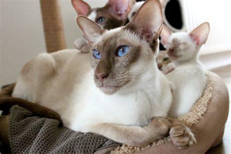 Siamese Cat Facts