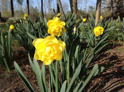 sherborne daffodil from brent becky s bulbs gloucester