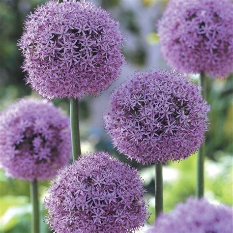 allium bulbs allium gladiator dormant bulbs 3 pack 70130 the home depot