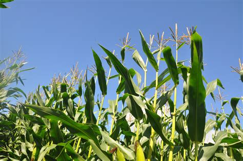 New initiative to boost maize silage as grass silage ...