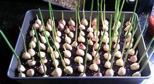 Cultiver De L Ail : cultiver et r colter de l 39 ail au jardin ou en appart ~ Melissatoandfro.com Idées de Décoration