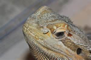 Bearded Shedding Nostrils by Beardies Nostril Shed Reptile Forums