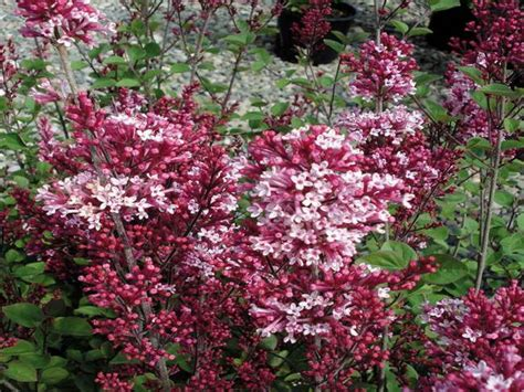 evergreen flowering shrubs for sun full sun flowering evergreen shrubs pictures reference