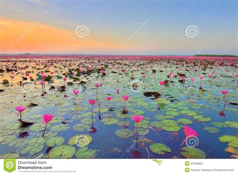 lotus flower field stock images image