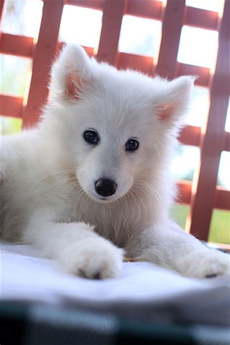 17 Best Images About For The Love Of Samoyed Dogs On