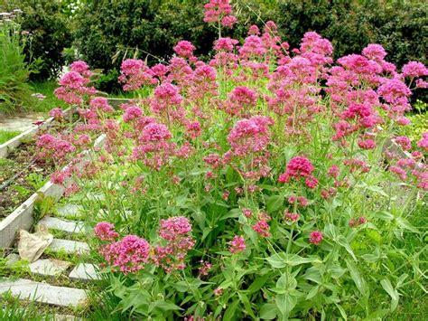 Centranthus Ruber, Valeriana Roja, Herba De Sant Jordi