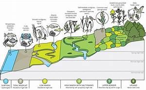 Sedge Marsh Diagram