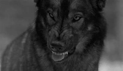 Wolf Lost Mix Dog Shadow German Shepherd