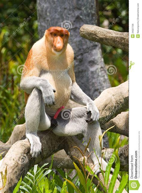 Proboscis Monkey Royalty Free Stock Image - Image: 24327756