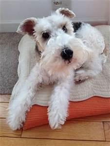 cachorros+fox+terrier+pelo+de+alambre+callao+callao+peru ...