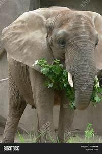 African Elephant Eating Stock Photo & Stock Images | Bigstock
