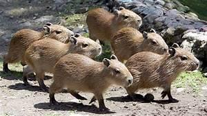 Baby Capybaras Will Be Very Big Someday! | Baby Animal Zoo