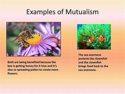 Mutualism Organisms Examples Interactions Powerpoint Clownfish Both