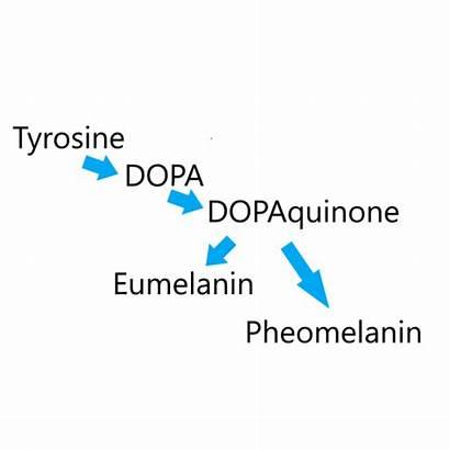 Melanin Skin Pigment Formation Pheomelanin Copper Tyrosinase