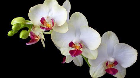 wonderfull white orchid flower black background hd