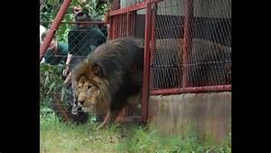 Borne Free Lyon : simba goes home to africa youtube ~ Medecine-chirurgie-esthetiques.com Avis de Voitures