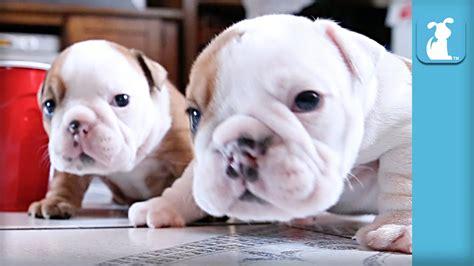wrinkly bulldog puppy parties  hard  darn cute