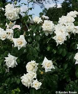 Ilse Krohn Superior : rosa 39 ilse krohn superior 39 ~ Eleganceandgraceweddings.com Haus und Dekorationen