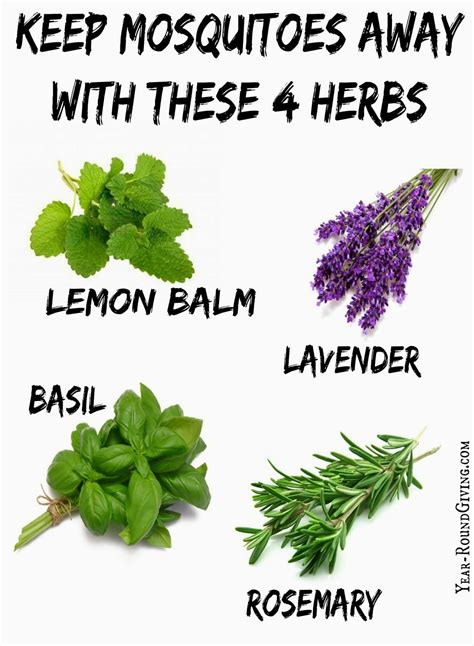 herbs that keep mosquitoes away gardens the mosquito