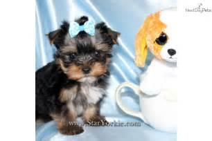 Tiny Teacup Yorkie Puppies Sale