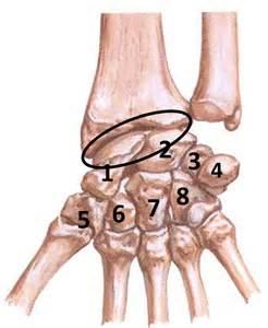 Bone Carpal Joints
