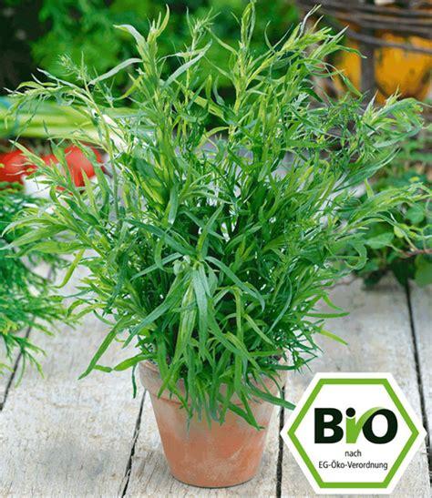 Französischer Garten Pflanzen by Bio Estragon 1a Pflanzen Kaufen Baldur Garten