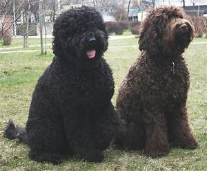 Musings of a Biologist and Dog Lover: Unusual Breed: Barbet