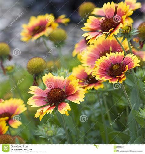 giardino autunno bei fiori d autunno giardino fotografia stock