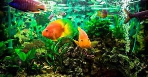 Süßwasserfische Fürs Aquarium : s wasserfische f rs aquarium aquaristik ~ Lizthompson.info Haus und Dekorationen