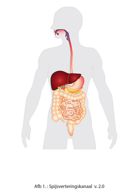 wat is de lever