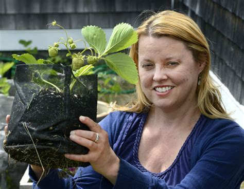 marshall strawberry plants artist on a mission to revive a strawberry beloved for its taste the portland press herald