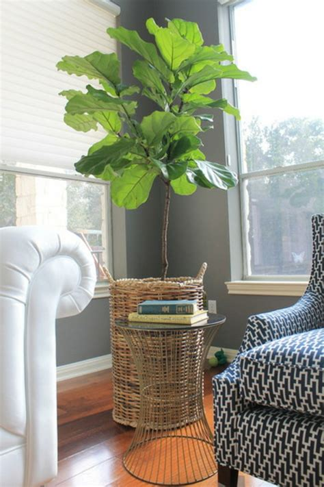 eine pflanze als dekoration geigen feige fuer eine belebte