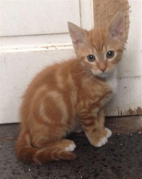 Ginger Tabby Boy Kitten For Sale Scunthorpe