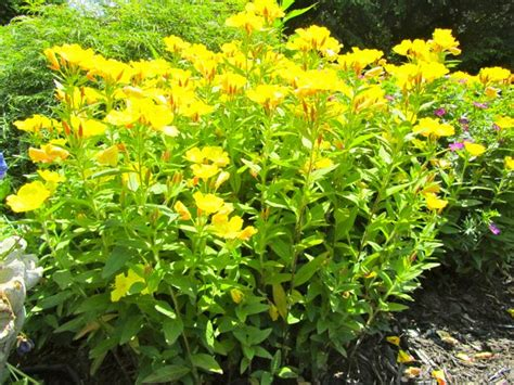 evening primrose plant oenothera evening primrose can be invasive give it plenty of room good for difficult spots