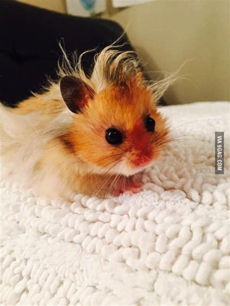baby hamster 25 best ideas about baby hamster on pinterest a hamster hamster breeds and hamsters