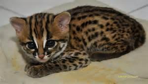 leopard cat for treknature noel leopard cat photo