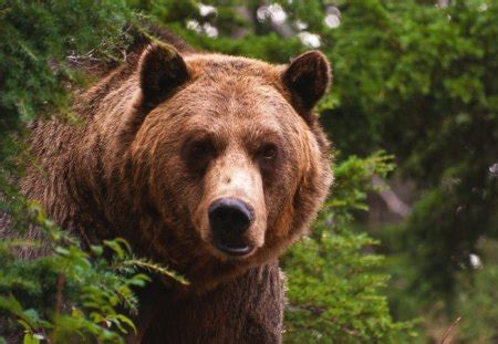 grizzly bear bears animals background wallpapers
