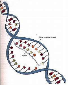 Mrna digram clipart best for What is a template strand