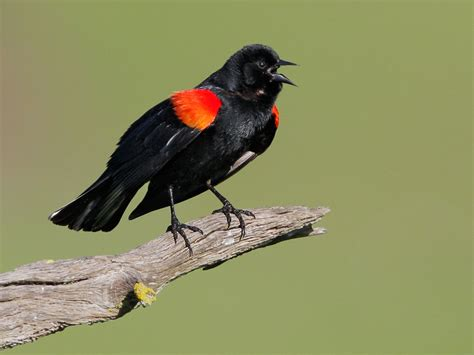 redwingedblackbirdp