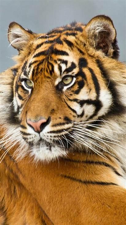 Tiger Animals Sumatran Galaxy Wallpapers Animal Note