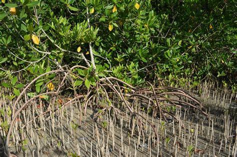 jamin fall   kslof bahamas mangrove