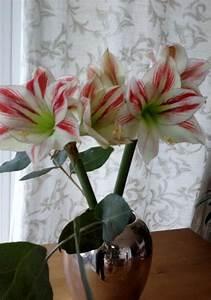 Amaryllis In Der Vase : wundersch ne amaryllis in der vase bild 1 ~ Lizthompson.info Haus und Dekorationen